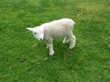 Free Cute Lamb Stock Images - 5297174