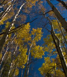 Free Under Aspens Stock Image - 5297201