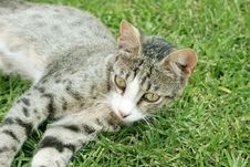 Free Young Cat Royalty Free Stock Photos - 5297478