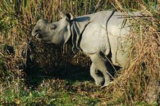 Free View Of A Wild Rhinoceros. Stock Photo - 5297530