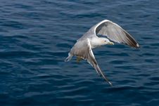 Free Seagull Flying Royalty Free Stock Images - 5297819