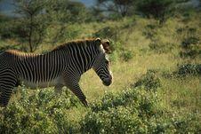 Free Zebra In Samburu Stock Photography - 5297852