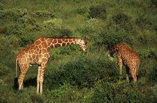 Two Giraffe Feeding Stock Images