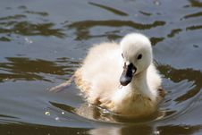 Free Baby Swan Stock Image - 5298201