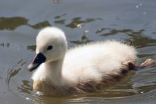 Free Baby Swan Royalty Free Stock Images - 5298209