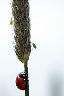 Ladybug And Plant Lice Royalty Free Stock Photos