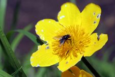 Free Fly On Caltha Palustris Stock Photos - 5298433