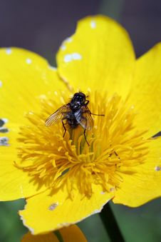 Fly On Caltha Palustris Stock Image