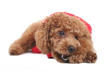 Free Toy Poodle Stock Photography - 5299072