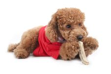 Free Toy Poodle Stock Images - 5299084