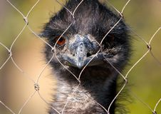 Free Ostrich Emu In The Zoo Stock Photography - 530062