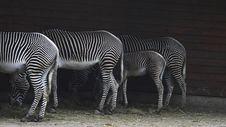 Zebras, Feeding Royalty Free Stock Images
