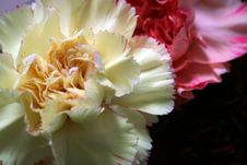 Pink And Yellow Carnations 2 Stock Images