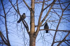 Free Jackdaws Talk Royalty Free Stock Photos - 531138