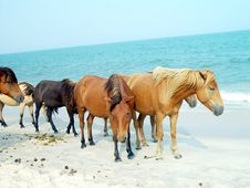 Assateague Ponies Stock Images
