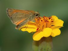 Free The Butterfly Of Family Hesperiidae On A Flower. Stock Photography - 531732