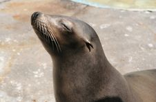 Sealion Stock Images