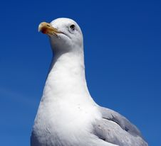 Free Seagull Close-up Royalty Free Stock Photography - 532007