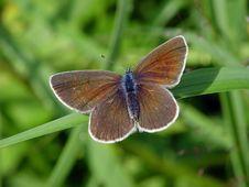 Free Polyommatus Bellargus. Stock Images - 532624