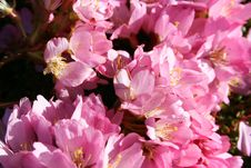 Free Pink Cherry Blossoms Stock Photos - 532633