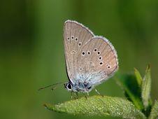 Free Polyommatus Semiardus. Royalty Free Stock Image - 532656