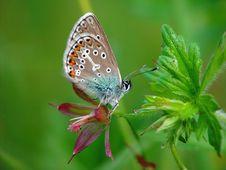 Free Polyommatus Icarus. Royalty Free Stock Photography - 532657