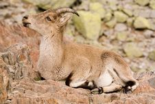 Free Mountain Goat Stock Photo - 533360