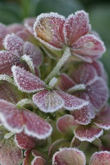Free Frosty Leaves Stock Images - 533794