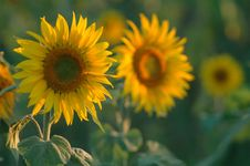 Free Sunflower Stock Photos - 533843