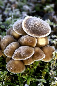 Free Frosted Wild Mushrooms Royalty Free Stock Images - 534359