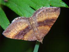 Free Scotopteryx Chenopodiata. Royalty Free Stock Photo - 535015