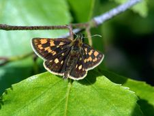 Free Butterfly Carterocephalus Palaemon. Royalty Free Stock Image - 535016