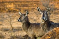Free Two Female Waterbucks Stock Image - 535771