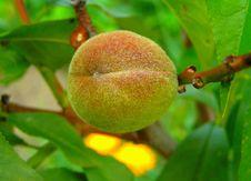 Free Peach Stock Photos - 535983