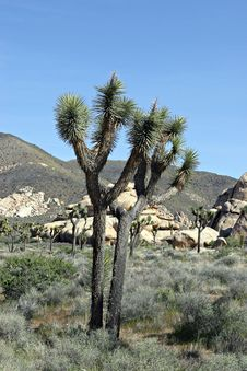 Free Joshua Tree Stock Photography - 536002
