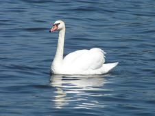 Free Swan Royalty Free Stock Image - 537086
