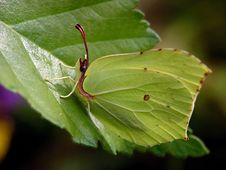 Free Gonepteryx Rhamni. Stock Photography - 537192