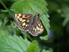 Free Butterfly Carterocephalus Palaemon. Stock Photos - 537193