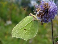 Gonepteryx Rhamni On A Flower. Stock Images