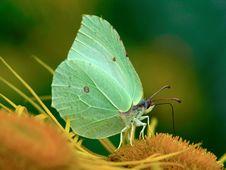 Free Gonepteryx Rhamni On A Flower. Royalty Free Stock Photo - 537195