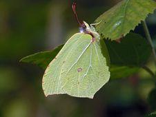 Free Gonepteryx Rhamni. Royalty Free Stock Image - 537196