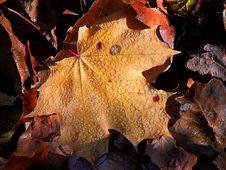 Free Orange Autumn Leaves Royalty Free Stock Image - 537936