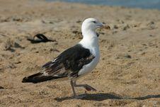 Free Strutting Gull Stock Image - 538021