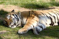 Free Sleeping Tiger Royalty Free Stock Image - 538126