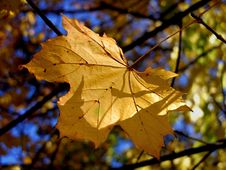Free Gold Autumn Leaves Stock Image - 538221