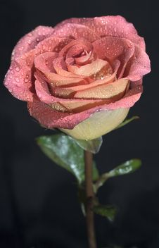 Free Rose With Water Drops Royalty Free Stock Photo - 538225