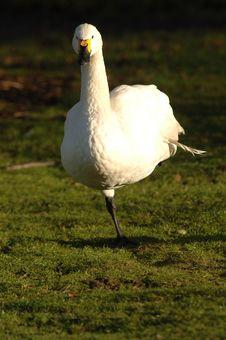 Free Berwick Swan Stock Images - 538414