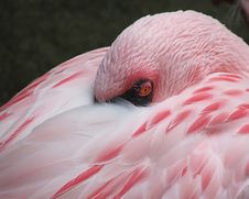 Sleeping Flamingo Stock Images