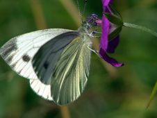 Free Pieris Brassicae. Royalty Free Stock Images - 539369