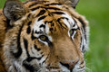 Free Tiger Close-up Royalty Free Stock Images - 5309559